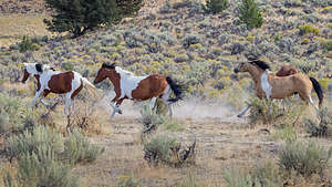 Wild horses of Steens Mountain