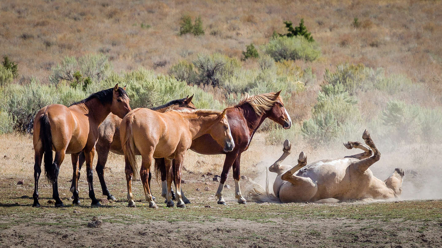Wild horse taking a dirt bath while his buds look on