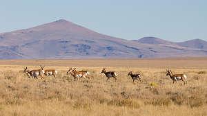 Pronghorn Antelope of Hart Mountain Wildlife Refuge