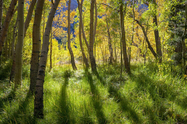 Aspen grove along Convict Lake Trail