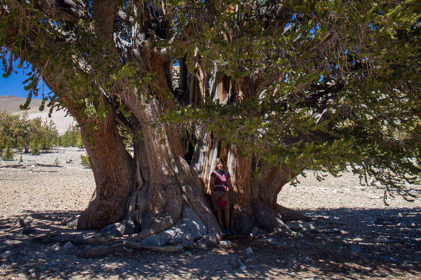 Lolo and the Patriarch Tree