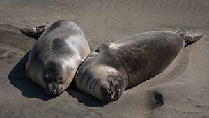 Pups at the Elephant Seal Rookery