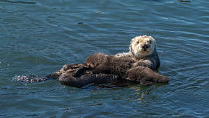My favorite Morro Bay Otter